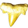 Lamna biauriculata