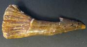 sågfisk tand, Onchopristis