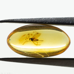 Bärnsten, innesluten insekt