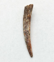Pterosaur tooth, Siroccopteryx moroccensis
